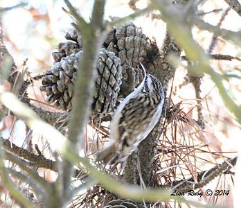 Brown Creeper - 1/3/14 - FRNC