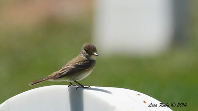 Possible Willow Flycatcher - 6/1/2014 - Fort Rosecrans National Cemetery