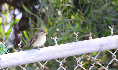 Pacific Slope Flycatcher - 6/1/2014 - Fort Rosecrans National Cemetery