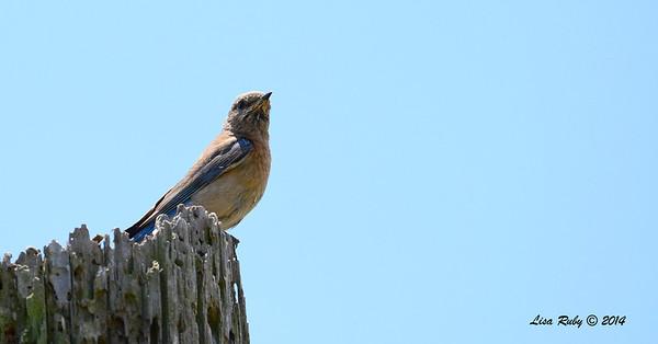Female Western Bluebird - 6/1/2014 - Fort Rosecrans National Cemetery