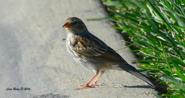 Mystery Sparrow  - FRNC - 9/7/2014