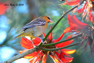 Immature Male Bullock's Oriole - 12/23/2014 - Grape Street Dog Park, San Diego