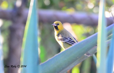 Immature male Orchard Oriole - 12/23/2014 - Grape Street Dog Park, San Diego