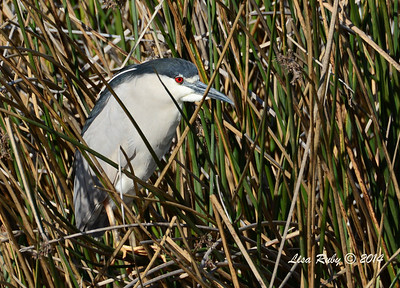 Black-crowned Night Heron - 3/16/14 - Fermosa Slough