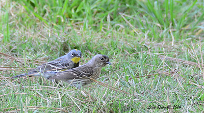 Yellow-rumped Warblers - 3/16/2014 - Greenwood Cemetary