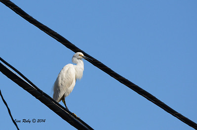 Snowy Egret on odd perch - 3/16/2014 - Formosa Slough