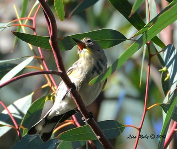 Odd Yellow-rumped Warbler -  12/24/2014 - Highland Valley Coast to Crest Trail