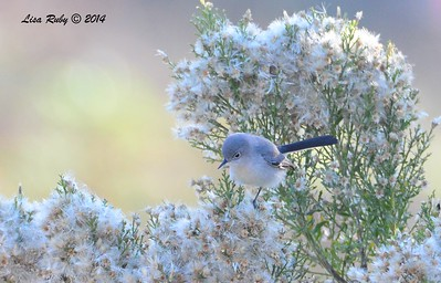 Blue-gray Gnatcatcher  - 12/24/2014 - Highland Valley Coast to Crest Trail