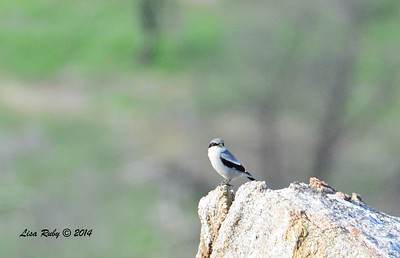 Loggerhead Shrike - 12/24/2014 - Highland Valley Coast to Crest Trail