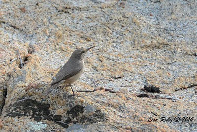 Rock Wren - 12/22/2014 - Highland Valley Coast to Crest Trail