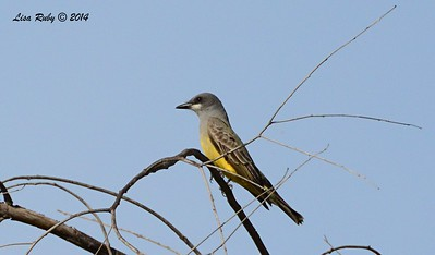 Cassin's Kingbird - 12/24/2014 - Highland Valley Coast to Crest Trail