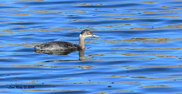 Eared Grebe - 10/12/2-14 - Lake Cuyamaca