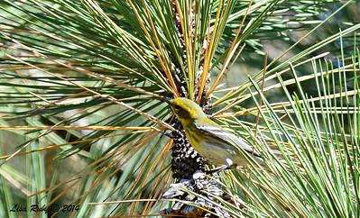 Immature Townsend's Warbler - 10/12/2014 - Lake Cuyamaca