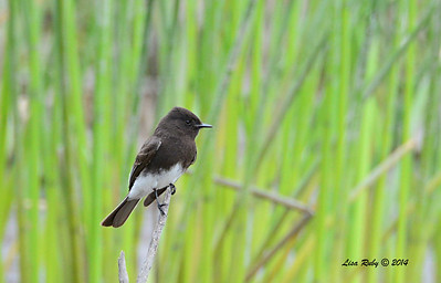 Black Phoebe - 4/4/14 - Lake Hodges, near Lake Shore Drive