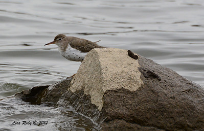 Spotted Sandpiper - 4/4/14 - Lake Hodges, near Lake Shore Drive