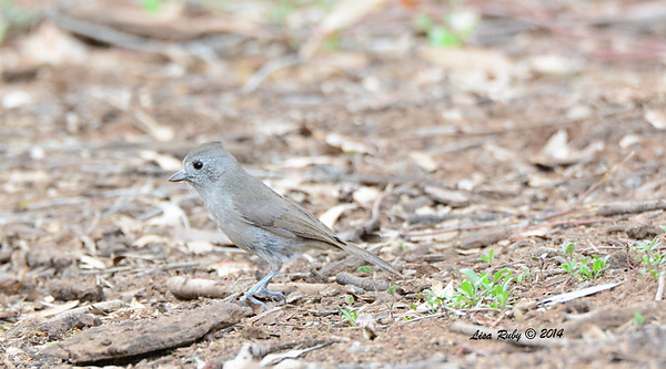 Oak Titmouse - 4/4/14 - Lake Hodges near Lake Shore Drive