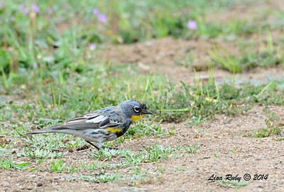Yellow-rumped Warbler - 4/4/14 - Lake Hodges near Lake Shore Drive