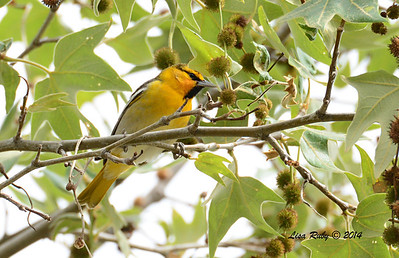 First Year Male Bullock's Oriole - 4/4/14 - Lake Hodges near Lake Shore Drive