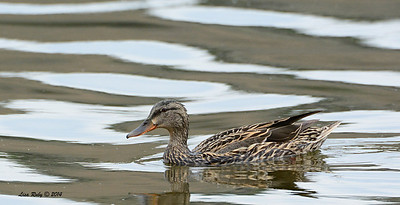 Female Mallard - 4/4/14 - Lake Hodges near Lake Shore Drive