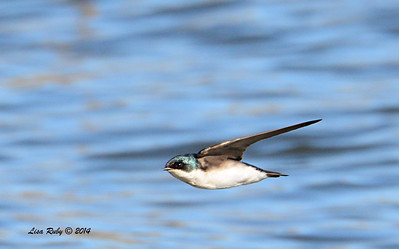 Tree Swallow - 3/30/14 - Lake Hodges,Lake Drive