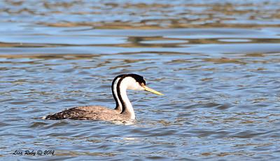 Western Grebes - 3/30/14 - Lake Hodges,Lake Drive