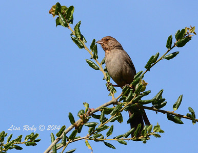 California Towhee - 5/4/2014 - Mission Trails Regional Park