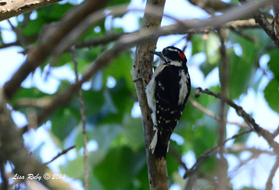 Downy Woodpecker - 5/4/2014 - Mission Trails Regional Park