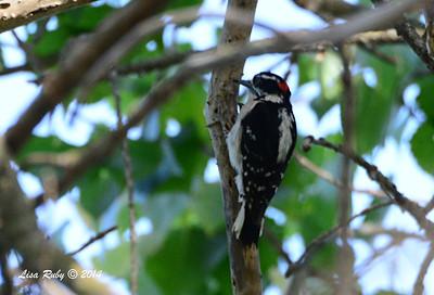 Downy Woodpecker - 5/4/2014 - Mission Trails Regional Park