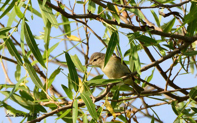 Warbling Vireo - 5/4/2014 - Mission Trails Regional Park