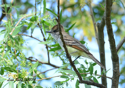 Ash-throated Flycatcher - 5/4/2014 - Mission Trails Regional Park
