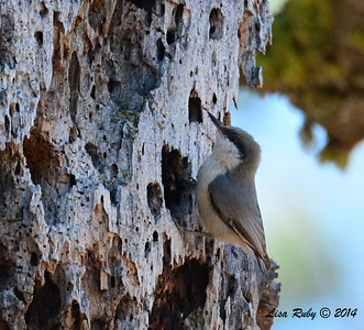 Pygmy Nuthatch - 2/23/14 - Mount Laguna, Just off Sunrise Hwy near trail 1