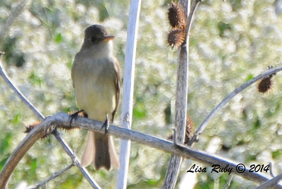 Willow Flycatcher - 5/25/2014 - San Pasqual Agricultural Trail