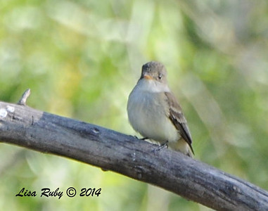 Willow Flyctacher - 5/25/2014 - San Pasqual Agricultural Trail