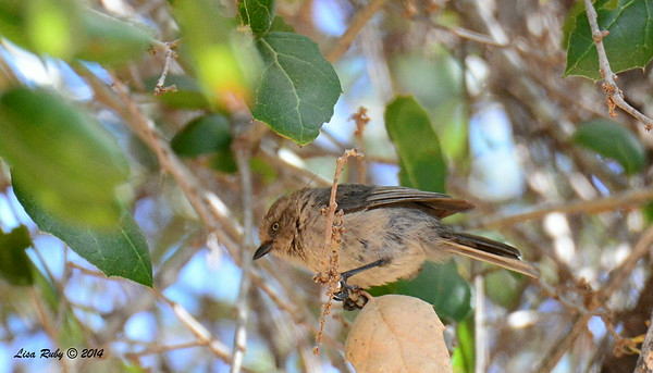 Bushtit - 7/13/2014 - Nancy's House, Ramona