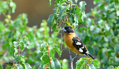 Black-headed Grosbeak - 7/13/2014 - Nancy's House, Ramona