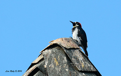Acorn Woodpecker- 7/13/2014 - Nancy's House, Ramona