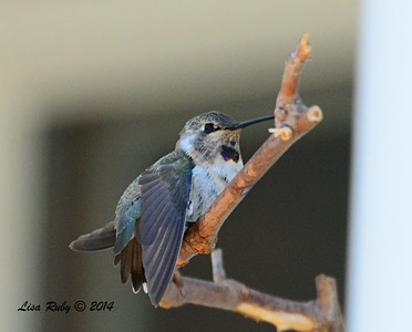 Immature Costa's Hummingbird - 7/13/2014 - Nancy's House, Ramona