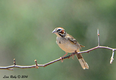 Lark Sparrow - 7/13/2014 - Nancy's House, Ramona