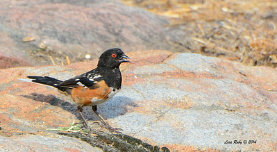 Spotted Towhee - 7/13/2014 - Nancy's House, Ramona