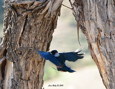 Lewis' Woodpecker - 1/2/14 - Pamo Valley