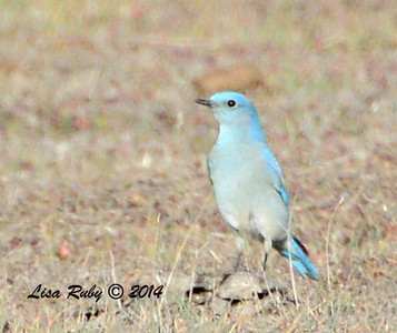 Mountain Bluebird - 1/2/14 - Ramona Grasslands Preserve