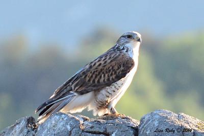 Juvenile Ferruginous Hawk - 1/2/14 - Highland Valley Road