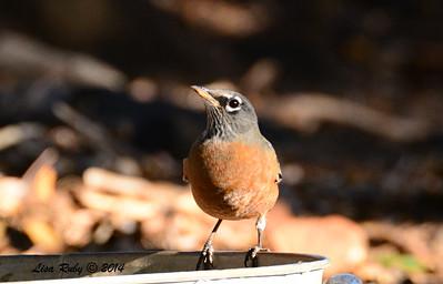 American Robin - 10/11/2014 - Pine Ridge Road, Pine Hills