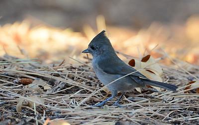 Oak Titmouse - 10/13/2014 - Paso Picacho, Cuyamaca Rancho State Park