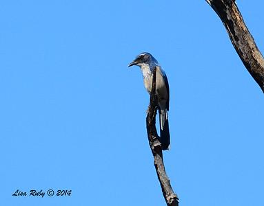 Western Scrub Jay - 10/13/2014 - Paso Picacho, Cuyamaca Rancho State Park