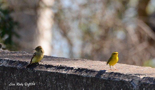 Pacific Slope Flycatcher and Wilson's Warbler - 5/5/2014 - Fort Rosecrans National Cemetery