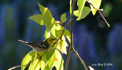Hermit Warbler - 5/4/2014 - Point Loma Nazarene College