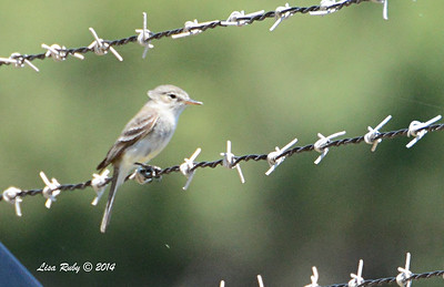 Unidentified Empidonax  - 5/4/2014 - Fort Rosecrans National Cemetery