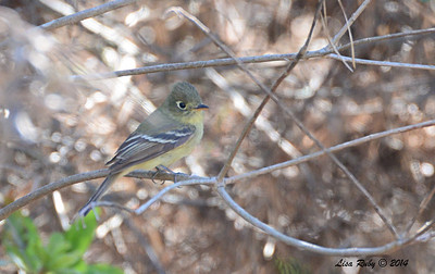 Pacific Slope Flycatcher - 5/4/2014 - Point Loma Nazarene College