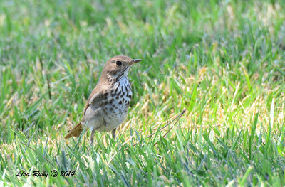 Hermit Thrush - 5/4/2014 - Fort Rosecrans National Cemetery